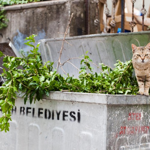 Dumpster Cat in Istanbul